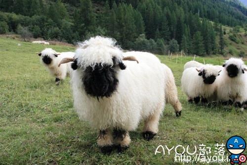 这种黑脸黑脚的萌羊叫做瓦莱黑鼻羊(Valais Blacknose)。是瑞士瓦莱地区培育出来的一种肉羊品种。
